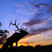 Elk at Sunset